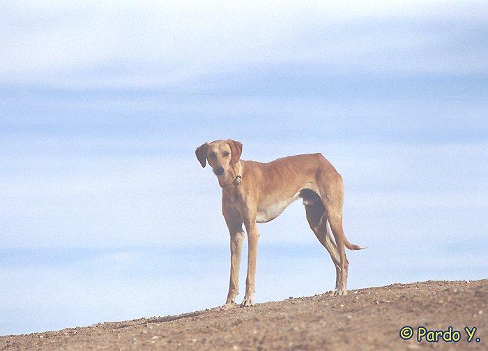מהו הזן הראשון של הכלב ?
