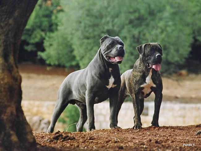 מרענן לוח כלבים גזעיים JR-44