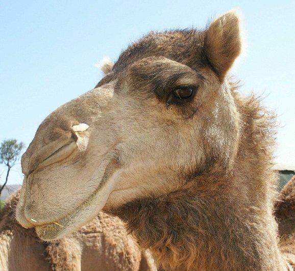 camelo- como se diz  em hebraico